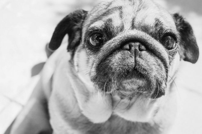 Companion animal vets worldwide voice concern about new 'pug' film